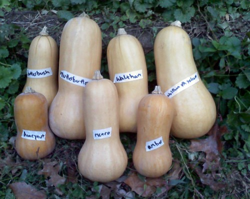 Butternut squash trial samples.