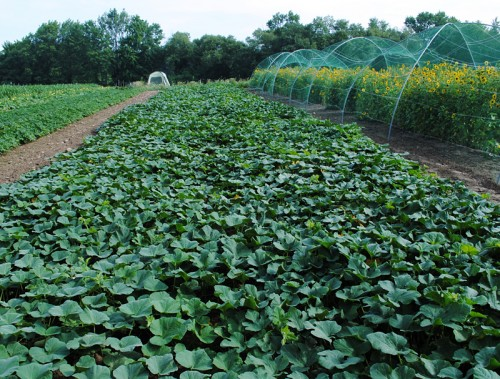 Cornell Butternut Squash breeding project (open pollinated line of Amber Delight Hybrid).